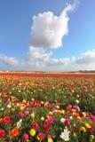 五颜六色的开花的毛茛的领域 库存照片