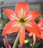 五颜六色的开花的热带复活节百合花厂 免版税库存图片
