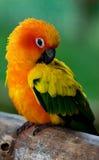 五颜六色的异乎寻常的鹦鹉 免版税库存照片