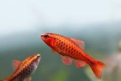 五颜六色的异乎寻常的鱼特写镜头 与Barbus Puntius titteya的淡水水族馆坦克钓鱼 水生自然静物画 库存照片