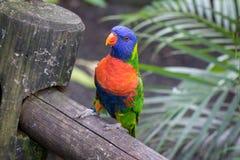 五颜六色的彩虹lorikeet Lorinae画象  图库摄影