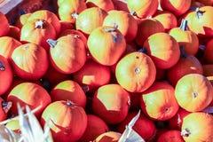 五颜六色的微型南瓜在万圣夜南瓜补丁的待售 免版税图库摄影