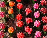 五颜六色的微型仙人掌 库存照片