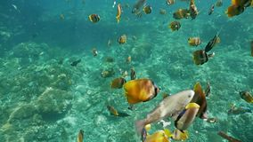 五颜六色的慢动作鱼水下的礁石珊瑚印度尼西亚的回归线 股票录像