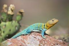 五颜六色的抓住衣领口的蜥蜴 免版税库存图片