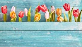 五颜六色的新鲜的春天郁金香静物画边界  免版税图库摄影