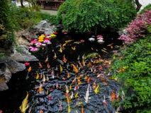 五颜六色的日本人Koi鱼在池塘-上海,中国 库存图片