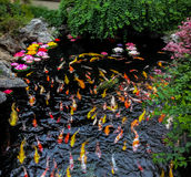 五颜六色的日本人Koi鱼在池塘-上海,中国 免版税库存图片