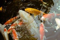 五颜六色的日本人Koi鱼游泳在Senso籍寺庙的,东京,日本一个池塘 免版税库存照片