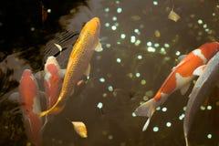 五颜六色的日本人Koi鱼游泳在Senso籍寺庙的,东京,日本一个池塘 免版税库存图片