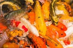 五颜六色的日本人Koi鱼鲤鱼 库存照片