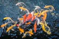 五颜六色的日本人Koi鱼 免版税库存照片