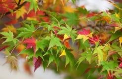 五颜六色的日语留下槭树 免版税图库摄影