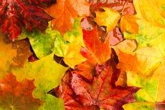 五颜六色的明亮的多雨秋天槭树背景 免版税库存图片