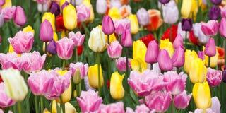 五颜六色的明亮的郁金香 图库摄影