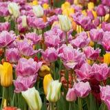 五颜六色的明亮的郁金香 库存图片