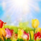 五颜六色的春天开花郁金香。EPS 10 免版税库存照片