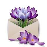 五颜六色的春天开花,在信封的番红花 概念春天背景 模板 免版税库存图片