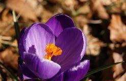 五颜六色的春天番红花 库存图片