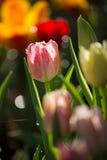 五颜六色的春天郁金香用浪花水 库存图片