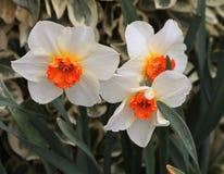 五颜六色的春天黄水仙 免版税库存图片