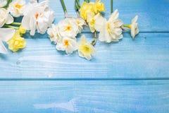 五颜六色的春天水仙在蓝色木背景开花 免版税库存图片