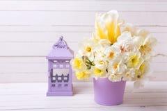 五颜六色的春天水仙或黄水仙在紫罗兰色罐a开花 库存图片