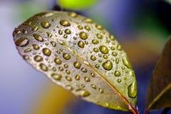 五颜六色的本质 在一片蜡状的叶子的雨珠 图库摄影