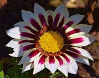 五颜六色的杂色菊属植物 库存照片