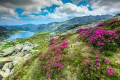 五颜六色的杜鹃花花和Bucura山湖, Retezat山,罗马尼亚 库存照片