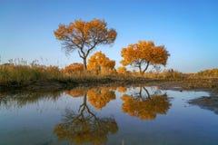 五颜六色的杨属水反射在河塔里木的秋天 图库摄影