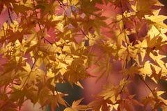 五颜六色的枫叶 免版税库存图片