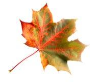 五颜六色的查出的叶子槭树 免版税库存照片