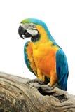 五颜六色的查出的鹦鹉 库存图片