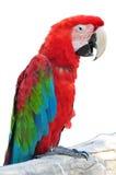 五颜六色的查出的鹦鹉 免版税图库摄影