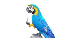 五颜六色的查出的鹦鹉 免版税库存照片