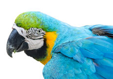 五颜六色的查出的鹦鹉 图库摄影