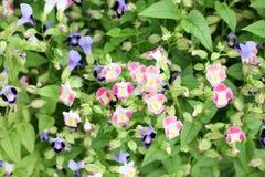 五颜六色的桃红色和紫罗兰色中提琴 库存图片