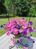 五颜六色的桃红色和紫色喇叭花花篮子 库存照片