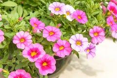 五颜六色的桃红色喇叭花花关闭背景在庭院里 免版税库存照片