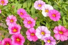 五颜六色的桃红色喇叭花花关闭背景在庭院里 库存图片