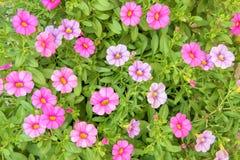 五颜六色的桃红色喇叭花花关闭背景在庭院里 免版税图库摄影