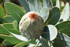 """五颜六色的桃红色国王普罗梯亚木在植物园里在南非â€的开普敦""""南非的全国花 免版税库存图片"""