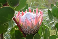 """五颜六色的桃红色国王普罗梯亚木在植物园里在南非â€的开普敦""""南非的全国花 免版税图库摄影"""