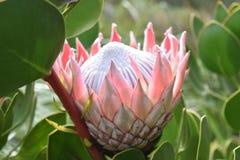 """五颜六色的桃红色国王普罗梯亚木在植物园里在南非â€的开普敦""""南非的全国花 库存图片"""