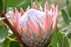 """五颜六色的桃红色国王普罗梯亚木在植物园里在南非â€的开普敦""""南非的全国花 免版税库存照片"""