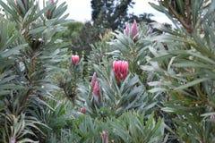 """五颜六色的桃红色国王普罗梯亚木植物在植物园里在南非â€的开普敦""""南非的全国花 库存图片"""
