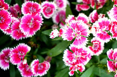 五颜六色的桃红色石竹花 免版税库存照片