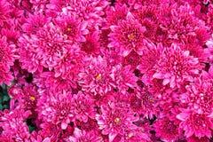 五颜六色的桃红色翠菊花 图库摄影