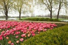 五颜六色的桃红色郁金香在庭院里 库存图片